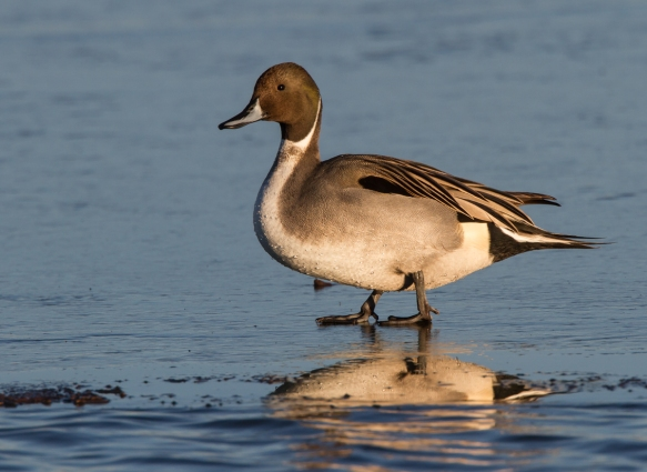 Northern Pintail on morning ice