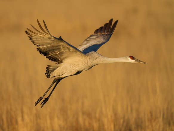 Sandhill Crane over marsh
