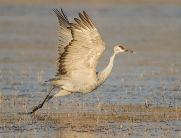 Sandhill Crane takes flight 1