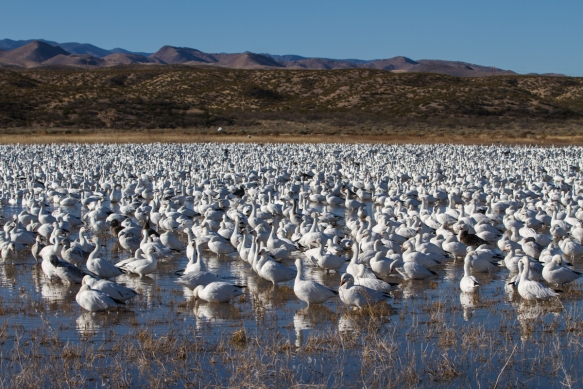 Snow Geese flock on Crane Pondpg