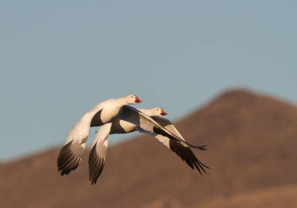 Snow Geese with mountains