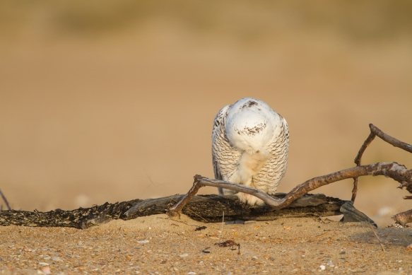 Snowy Owl cleaning its feet