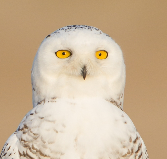 Snowy Owl profile - check out those eyes