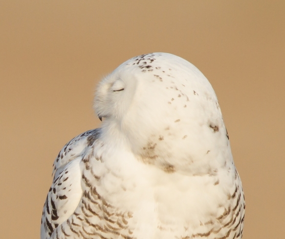 Snowy Owl profile - left, eyes closed