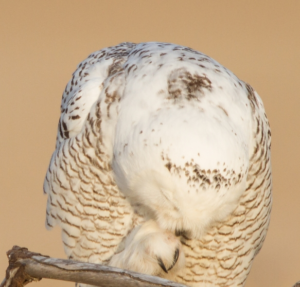 Snowy Owl profile - preening foot, talons showing
