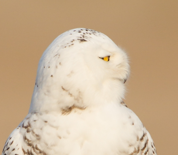 Snowy Owl profile - right 1
