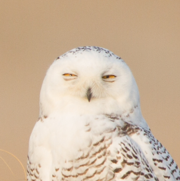 Snowy Owl profile - sleepy