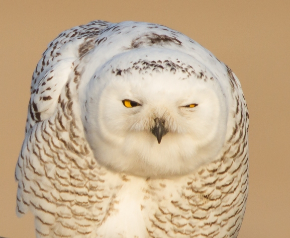 Snowy Owl profile - the look after prening straight ahead