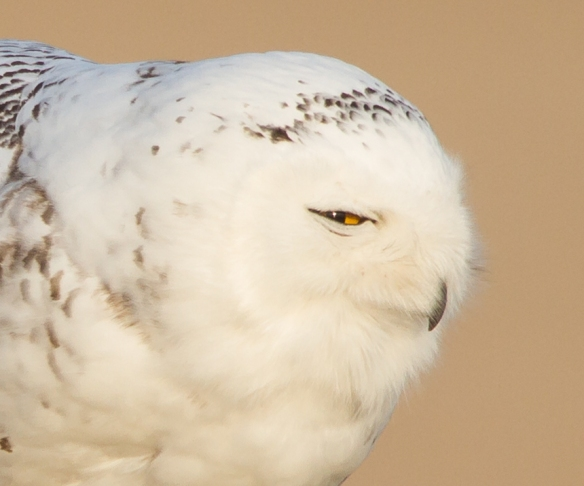 Snowy Owl profile - the stretch