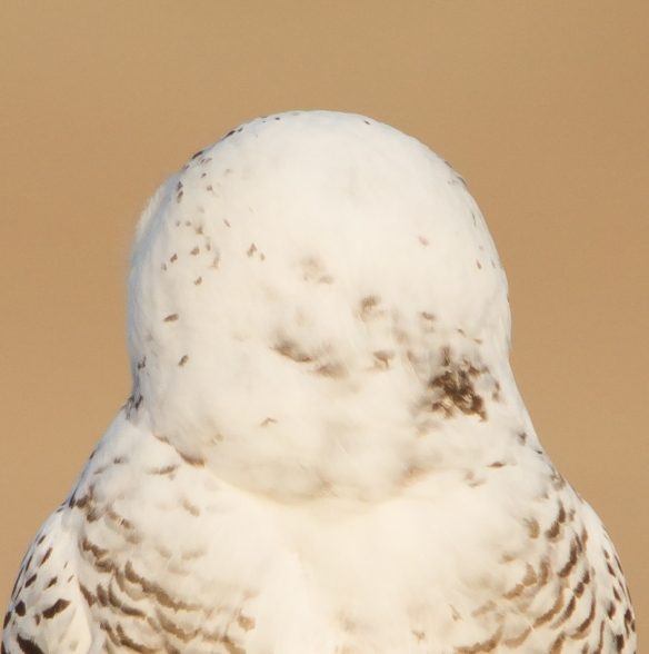 Snowy Owl profile - what eyes?