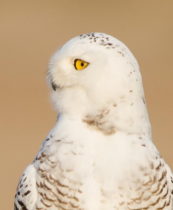 Snowy Owl profile - what's that?