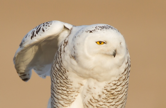 Snowy Owl profile - wing stretch