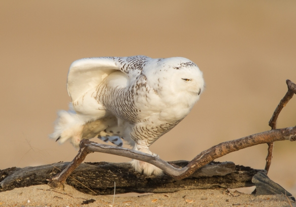 Snowy Owl stretch