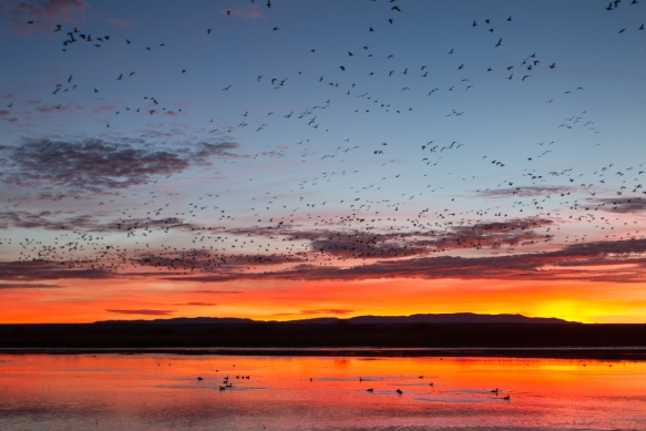 Sunrise from Flight Deck with Snow Geese in air