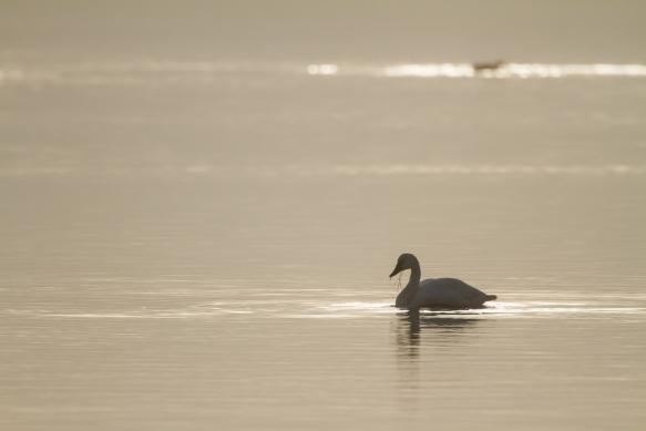 Swan in fog