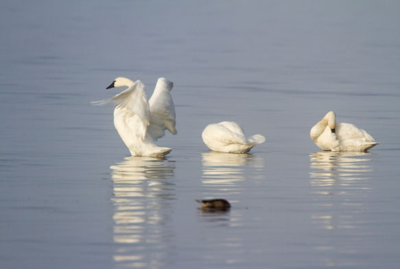 Swans in early morning light