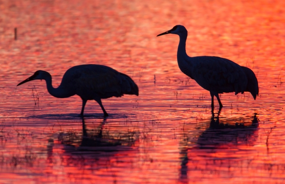 Two Cranes wading in fiery light