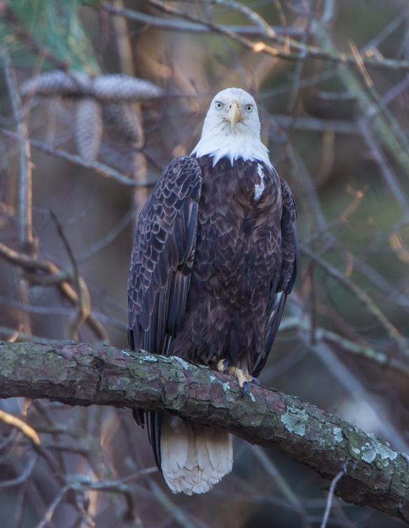 Adult Bald Eagle 1