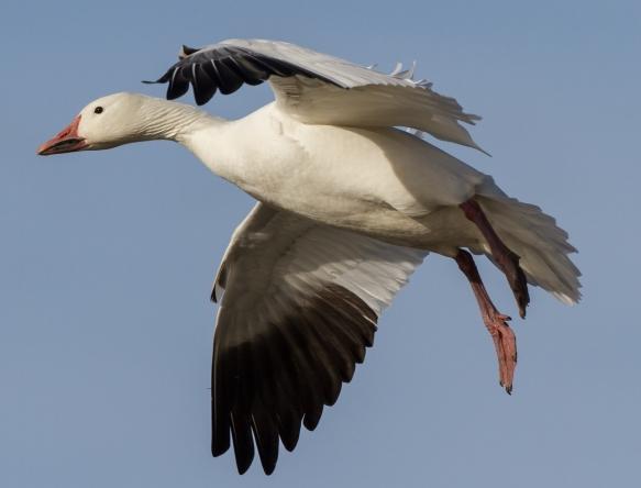 Adult Snow Goose