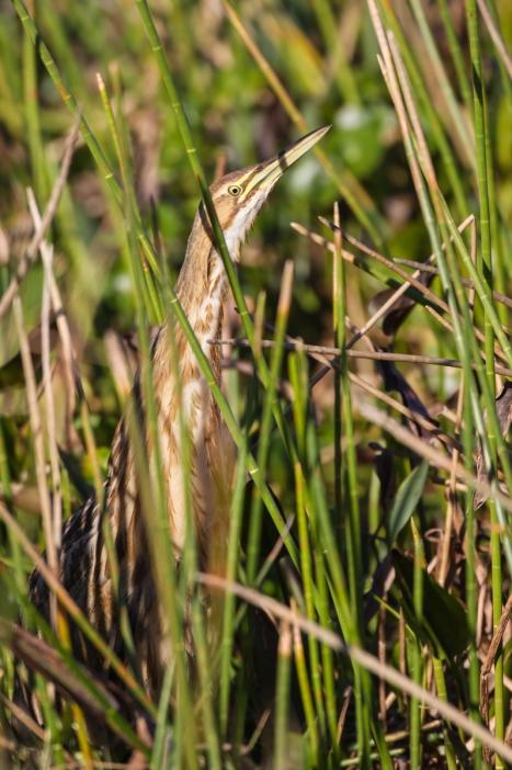 American Bittern in reeds