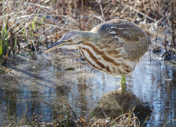 American Bittern in the open