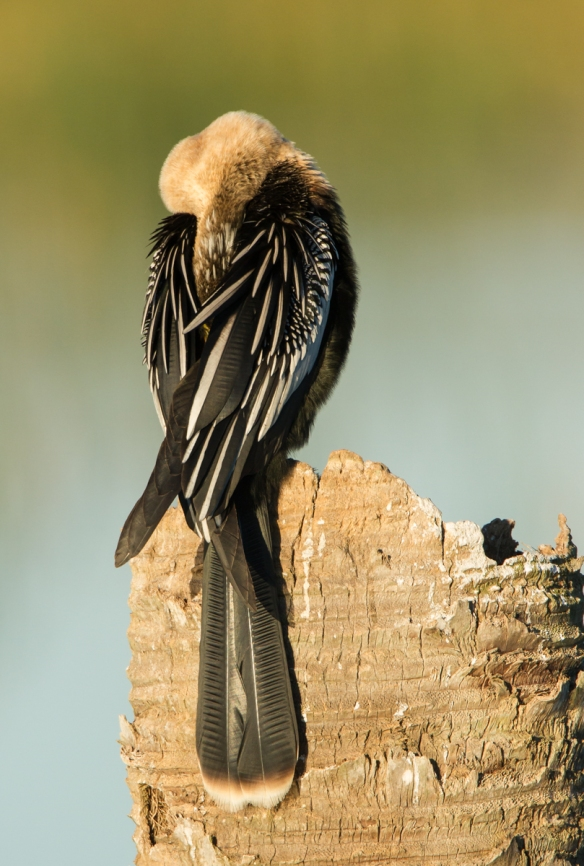 Anhinga on palm trunk - head tucked 1