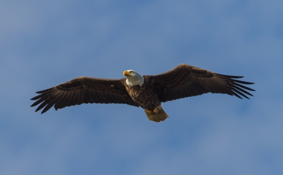 Bald Eagle fly by