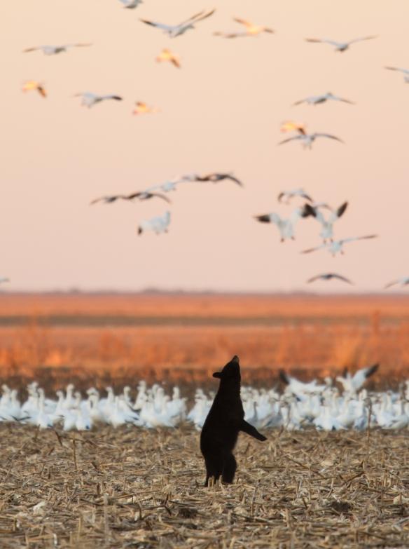 Bear standing looking st snow geese