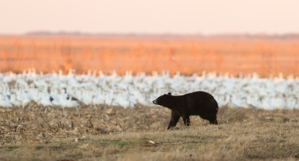 Bear with snow geese 1