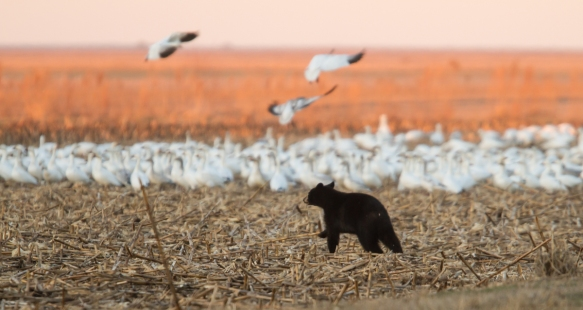 Bear with snow geese 3