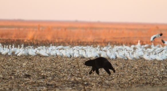Bear with snow geese 4