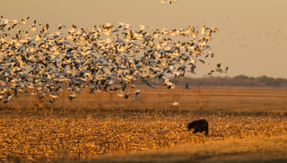 Bear with snow geese