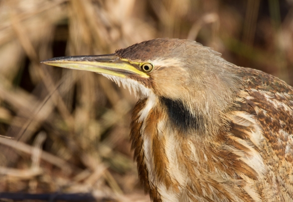 Bittern close up6