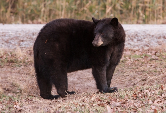 Black Bear sow 1