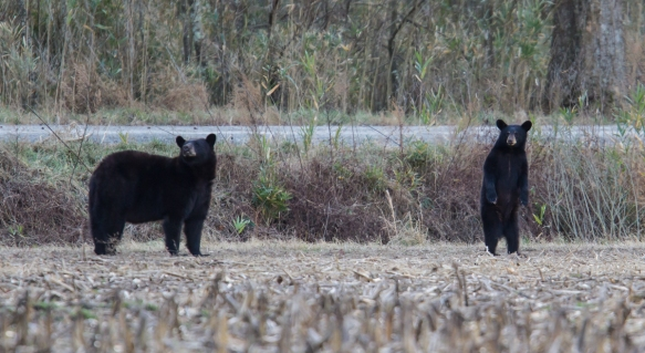 Black Bear sow and young