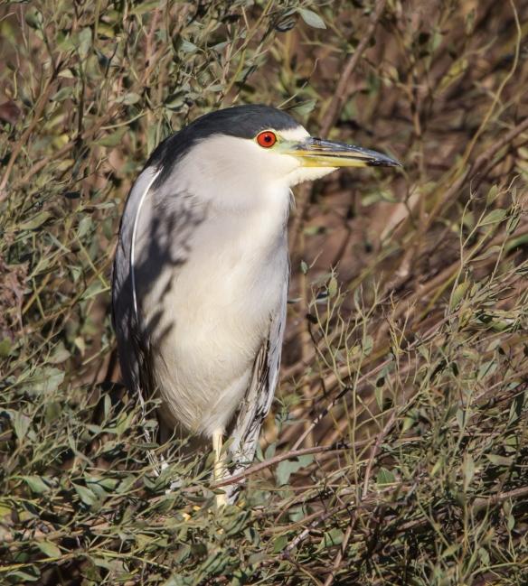 Black-crowned Night Heron adult