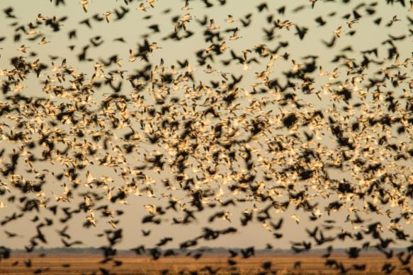 Blackbird flock in front of snow goose flock