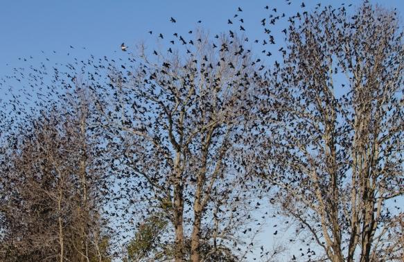Blackbirds in trees