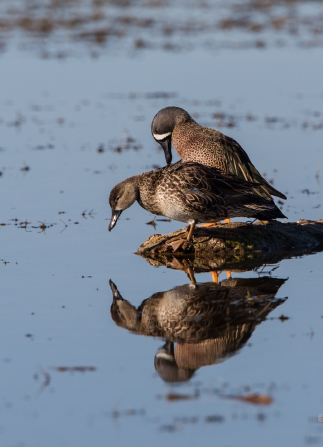 Blue-winged Teal pair on log