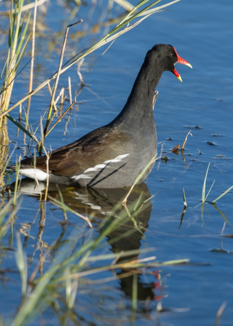 Common Gallinule calling