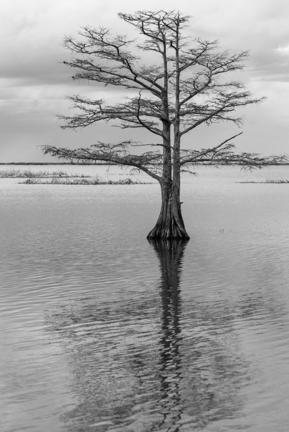 Cypress in Lake Mattamuskeet