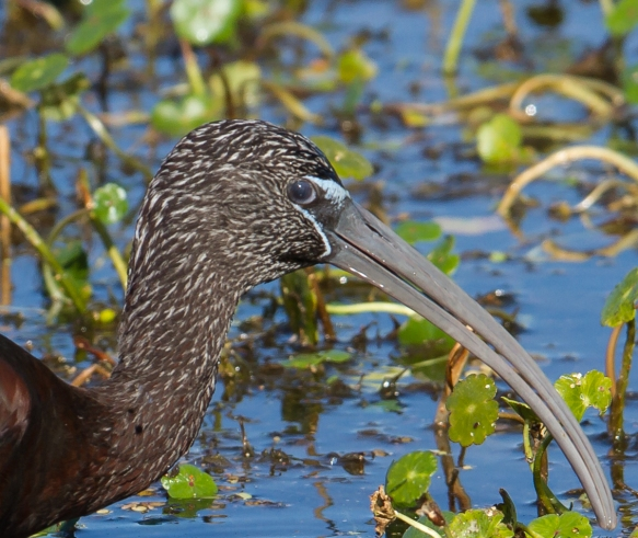 Glossy Ibis with nictitating membrane over eye