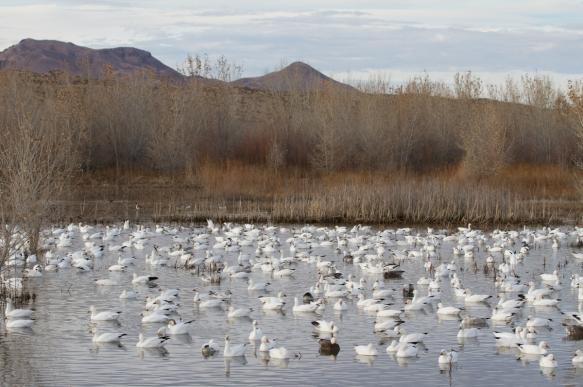 Goose observation pond along South Loop