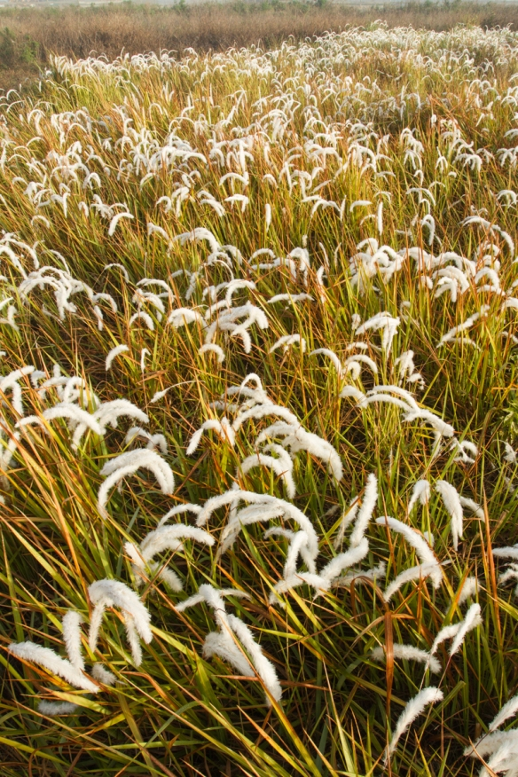 Grass seed heads in fog
