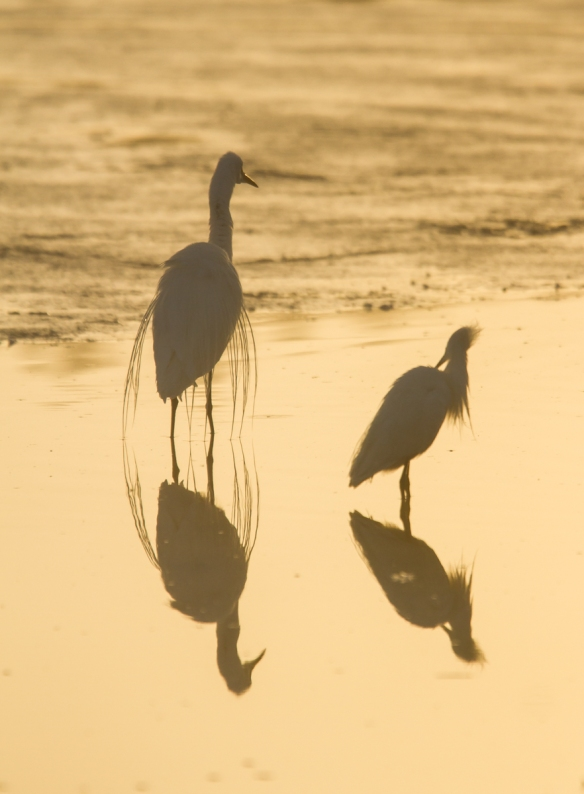 Great and Snowy Egrets in fog