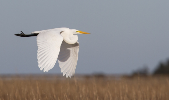 Great Egret fyl by