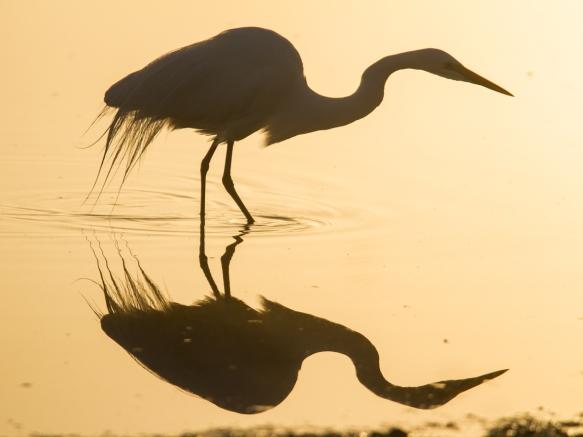 Great Egret hunting in fog