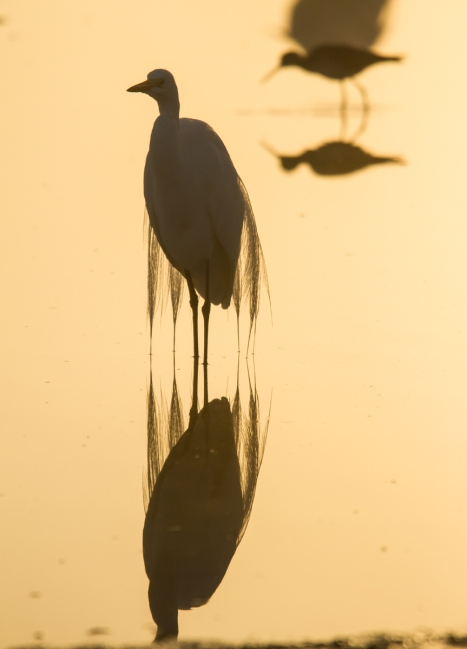 Great Egret in fog