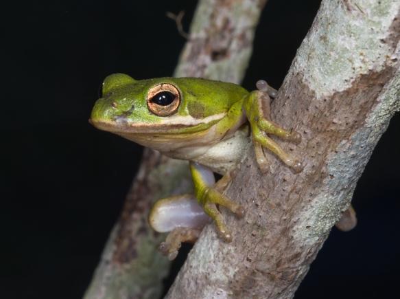 Green Treefrog 1