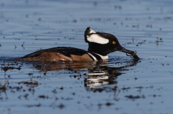 Hooded Merganser male with crayfish